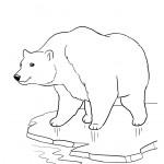 דף צביעה דוב הקוטב