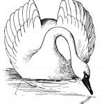swan-coloring-3